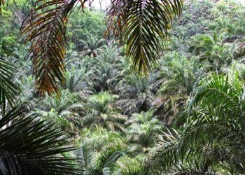 Tampak lahan yang disebut pembalakan ditumbuhi kelapa sawit oleh perkebunan PT KHI.